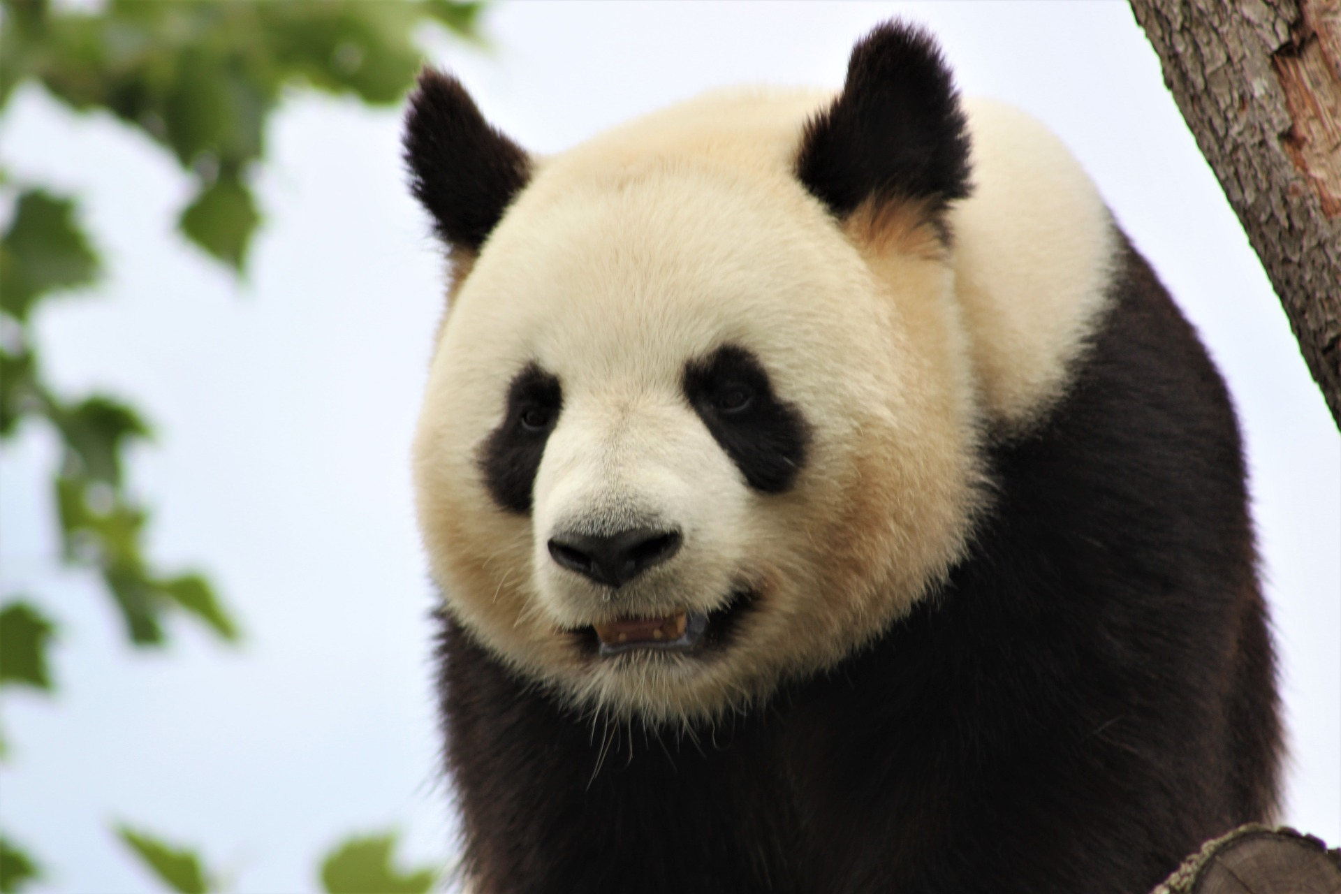 panda-4123049_1920
